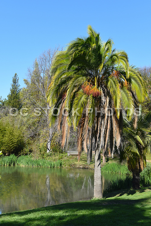 Fullerton Arboretum Pond