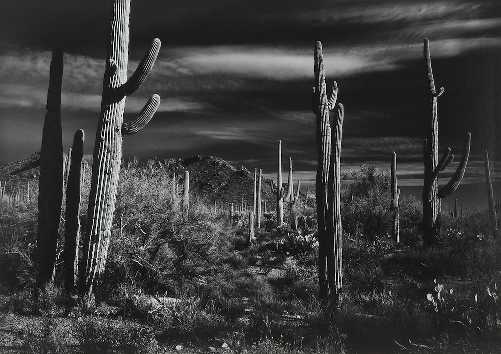 Saguarro Forest, Near Tucson