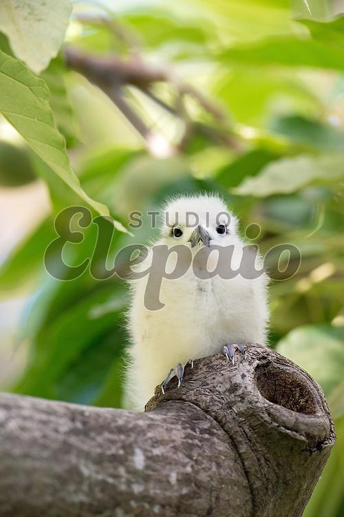 White tern chick. The white tern (Gygis alba), or manu-o-Ku in Hawaiian, is the official bird of Honolulu. Photographed in Honolulu, Hawaii.