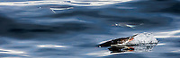 Gentoo penguins swimming around the clear waters of Pleaneau Island, Antarctica