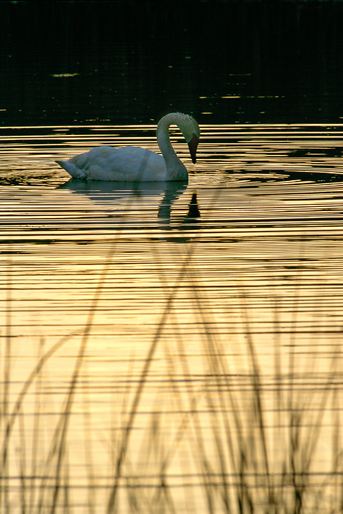 A trumpeter swan feeds in a pond at sunrise in the Lamar Valley of Yellowstone National Park in Wyoming.