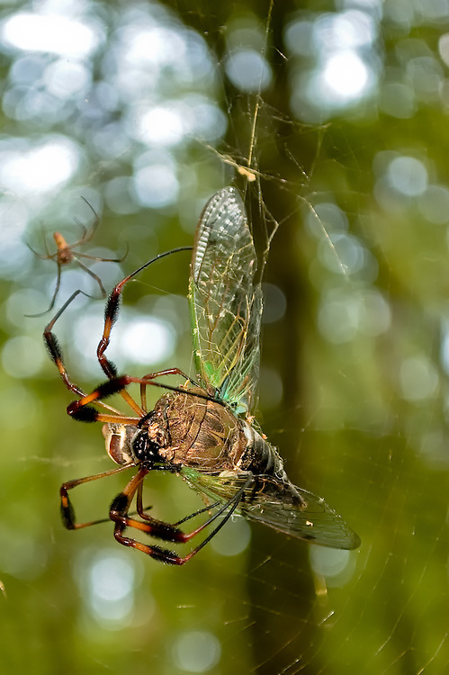 A massive golden silk spider catches a cicada - a testament to the strength and power of these predators. Note the much smaller male hanging around in the background.