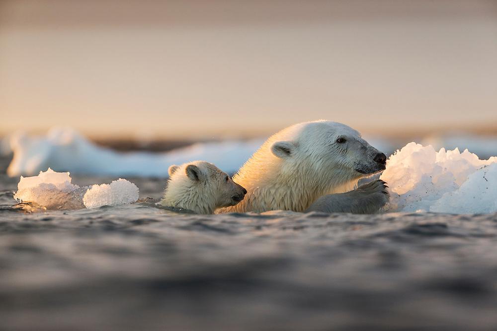Canada, Nunavut Territory, Repulse Bay, Polar Bear and young cub (Ursus maritimus) floating alongside iceberg near Harbour Islands at sunset