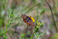 Euphydryas editha augustina (Edith's Checkerspot) at Bluff Lake Meadow, San Bernardino Co, CA, USA, on 25-Jun-17