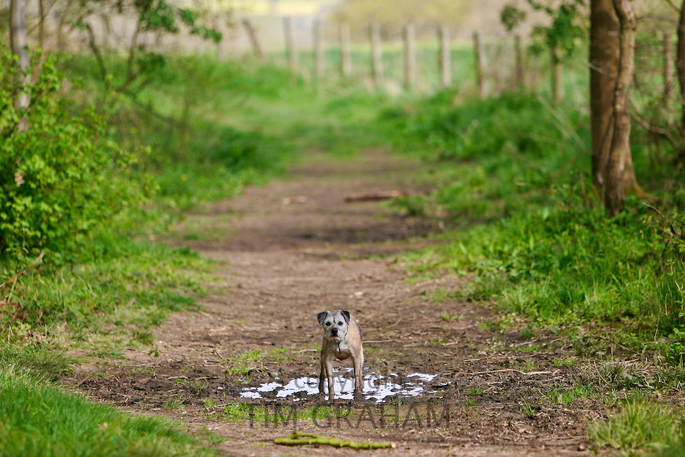 Jess, a Border Terrier Dog walking through a puddle in a wood in Oxfordshire