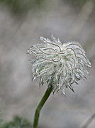 Closeup photograph of pasque flower or Easter flower seed head blowing in the wind. Background is white blurred setting.