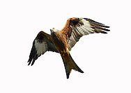 Red Kite Milvus milvus W 145-165cm. Graceful raptor, identified in flight by deeply forked tail (twisted to aid flight control) and long, bowed wings. Seldom spends much time on ground but sometimes perches in trees. Sexes are similar. Adult has pale grey head but otherwise mainly reddish brown plumage. Eye, base of bill and legs are yellow. In flight from below, note reddish brown body and underwing coverts, silvery grey tail and patch on primaries, and otherwise dark wings. From above, tail appears red while reddish brown back and wing coverts contrast with dark flight feathers. Juvenile resembles dull adult with pale margins to wing covert feathers. Voice Utters shrill calls in flight, like somebody whistling for their dog. Status As recently as late 1980's, confined to central Wales. Re-introduction programmes mean it is now very locally common in England and Scotland as well.