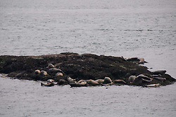 Harbor Seals (Phoca vitulina) Hauled Out on Rocks Off Yellow Island, San Juan Islands, Washington, US