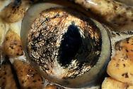 DEU, Deutschland: Auge einer Waldklapperschlange (Crotalus horridus), Augentyp: Linsenauge; schlitzfoermige, senkrechte Pupille; Schlangen verfuegen ueber ein breites Sehfeld (von 125° bis 135°); sie sind auch zu dem zur Entfernungseinschaetzung und Erkennung von Bodenunebenheiten wichtigen binokularen Sehen faehig; bei Schlangen betraegt die Ueberdeckung des linken und des rechten Sehfeldes  etwas 30°; Schlangen können ihre Augen weder drehen, noch schliessen, schlafen mit offenen Augen; Augengroesse ca. 8 mm, Rheinberg, Nordrhein-Westfalen | DEU, Germany: Eye of a timber rattlesnake (Crotalus horridus), type of eye: lens eye, slotted, vertical pupil; snakes haveing a wide field of view (125 until 135 degree), they are also able to binocular vision, estimate distances and recognizing unevenness of the ground, overlap of the right and the left field of view is circa 30 degree, snakes are not able to turning and closing the eyes, they sleeping with open eyes, eye size circa 8 mm, Rheinberg, North Rhine-Westphalia