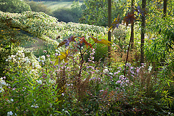 Border with Cornus controversa 'Variegata', Ricinus communis and phlox at Glebe Cottage. Castor oil plant