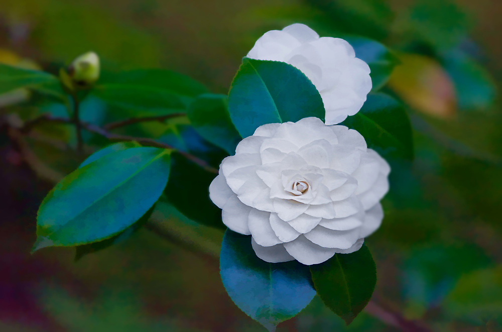 A white Camillia blooming on a branch, with Bokeh.