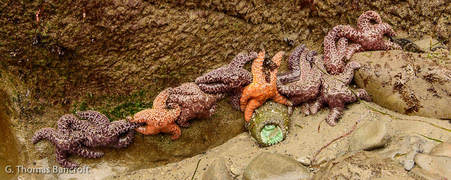 I found these eleven ochre sea stars clumped together in a tight line.  I wondered what had brought them together in such a tight group.  The tide had just pulled beyond them so they still had a wet glow to their surface..