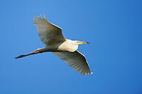 Great white egret, Ardea alba, Danube delta rewilding area, Romania