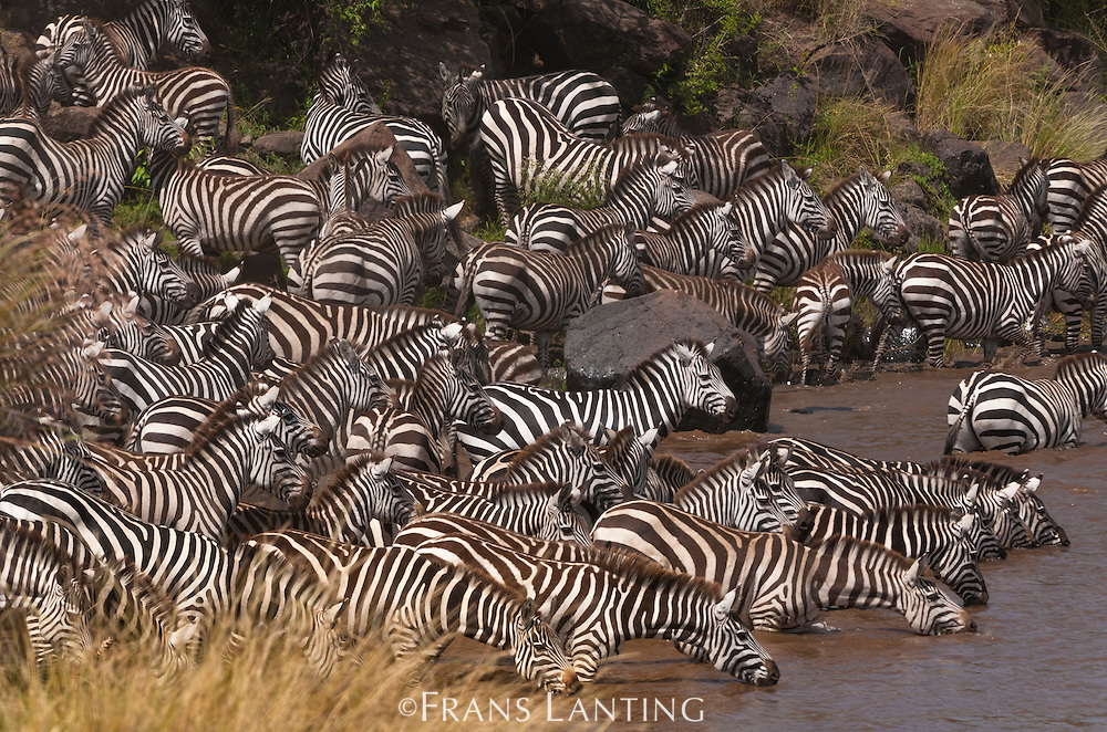 Zebras drinking from river, Equus quagga, Masai Mara National Reserve, Kenya