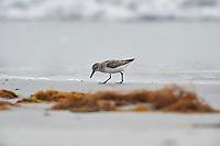 Semipalmated Sandpiper (Calidris pusilla) foraging along shoreline, Cherry Beach, Nova Scotia, Canada