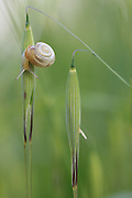 a snail on wild oats (Avena) Photographed in Israel in Spring