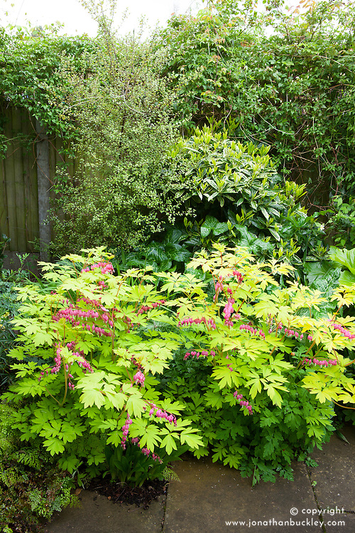 Sequence with Dicentra spectabilis 'Gold Heart' in flower. Lamprocapnos. Bleeding heart