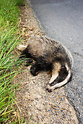 Dead badger roadkill, Sussex, England