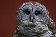 Adult Barred Owl in front of a red barn staring longingly