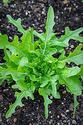 Lettuce 'Cerbiatta'