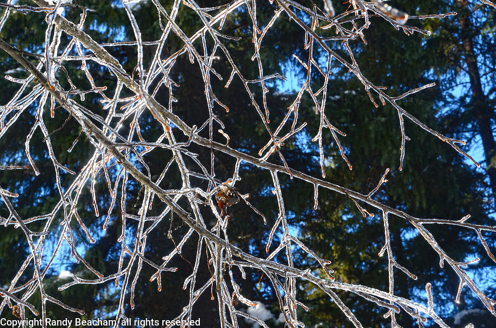Sunlight shines on ice covering alder trees after ice storm in winter 2017. Yaak valley, northwest Montana.