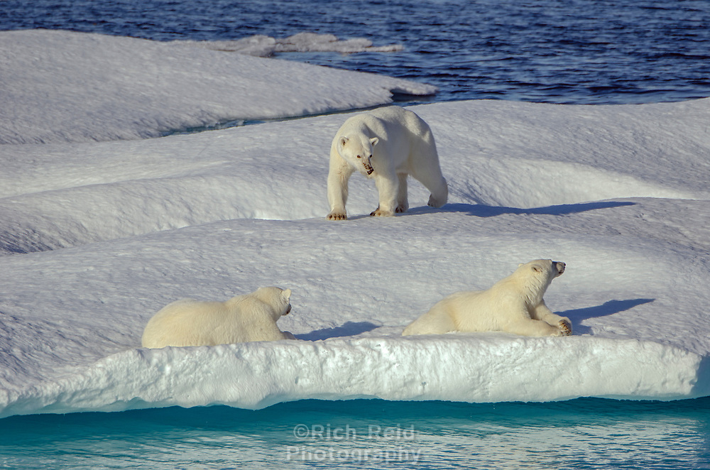 Polar bear sow and cubs on the sea ice in Prince Regent Inlet off Somerset Island in Nunavut, Canada.