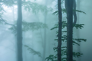 Misty beech forest in spring