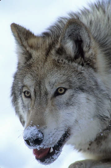 Gray Wolf, (Canis lupus) Portrait of wolf.   Captive Animal.