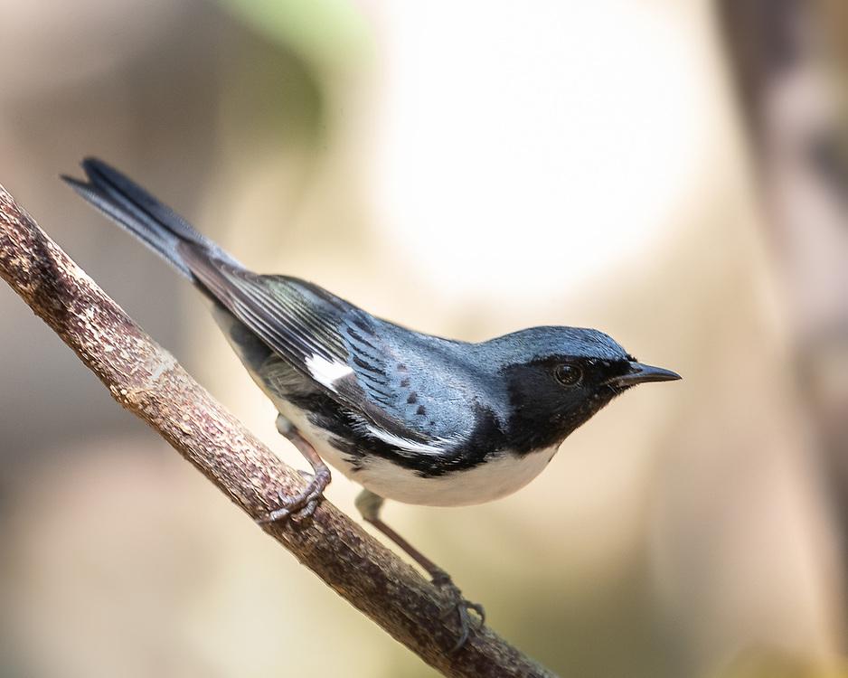 Setophaga caerulescens, male, Zapata Peninsula, Cuba