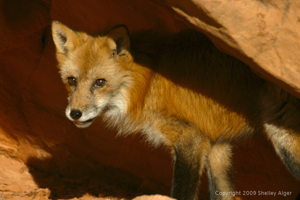 Red Fox in red rocks