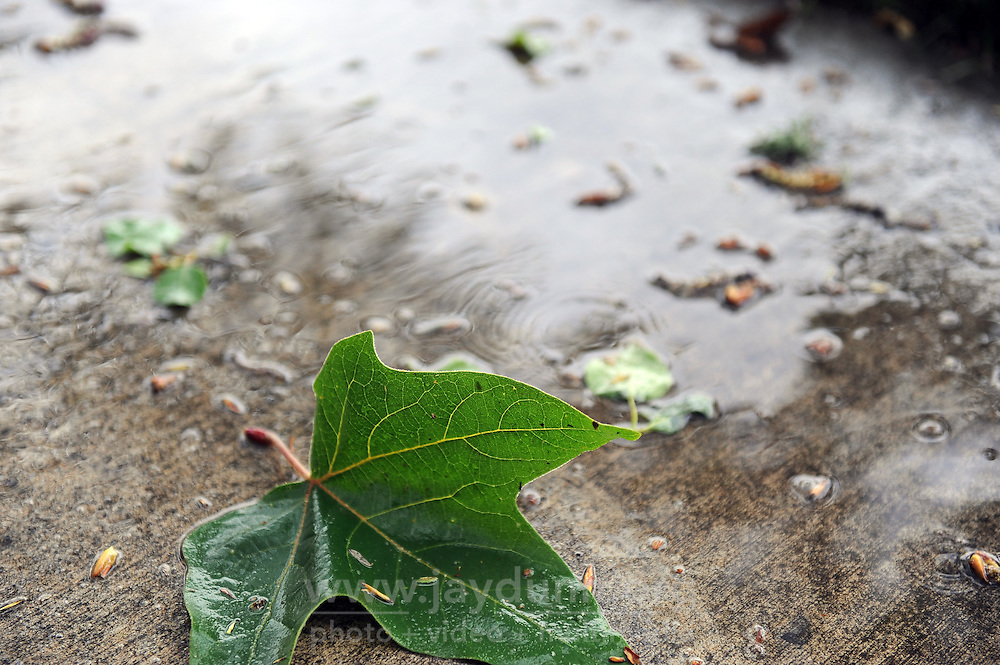 A fallen leaf just after sunup on Tuesday in Salinas. Rain fell through the morning bringing temporary relief to drought conditions.