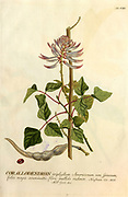 Coloured Copperplate engraving of an Erythrina (Corallodendron) from hortus nitidissimus by Christoph Jakob Trew (Nuremberg 1750-1792)