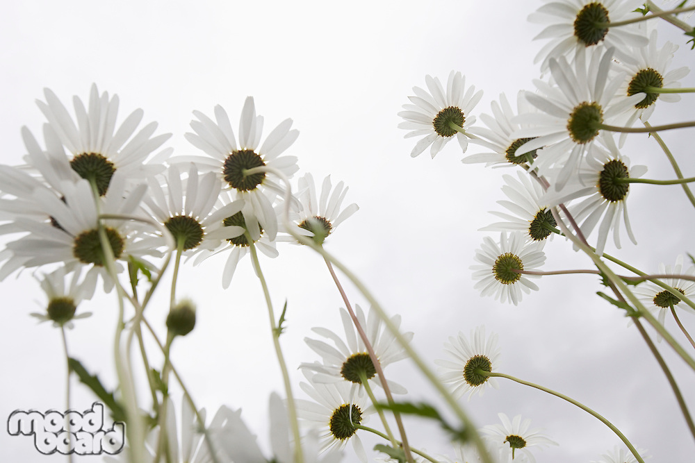 Field of Daisy flowers, low angle view, close up