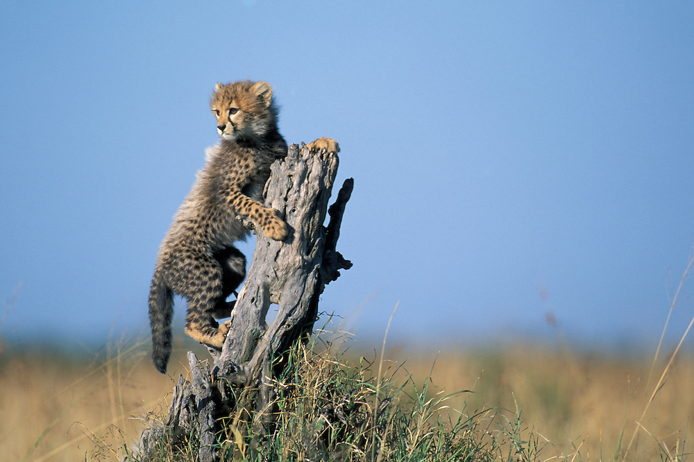 Kenya, Masai Mara Game Reserve,  Cheetah cub (Acinonyx jubatas) climbs on tree stump at sunrise on savanna