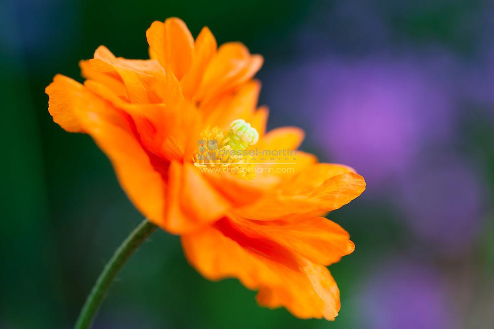 Papaver pilosum, flore pleno, Poppy, Rock Alpine Garden
