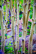 Birch tree trunks , Rocky Mountain National Park, Colorado