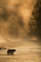 A beautiful silhouette of a grizzly bear against the first rays of sunshine from the morning sunrise on a foggy river in the Kootenays, British Columbia, Canada