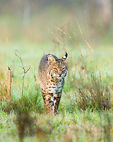 Bobcat, Lynx rufus;<br /> Photographer:  David Satterwhite <br /> Property:  Vidauri Ranch / J.F. Welder Heirs<br /> Refugio County