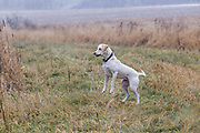 Jeff Lane's Yellow Labrador retriever,