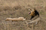 Tired mating pair of lions in Nairobi National Park, Kenya.