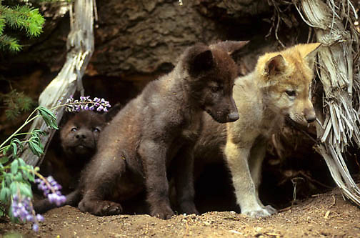 Gray Wolf, (Canis lupus) Pups at entrance of den. Captive Animal.