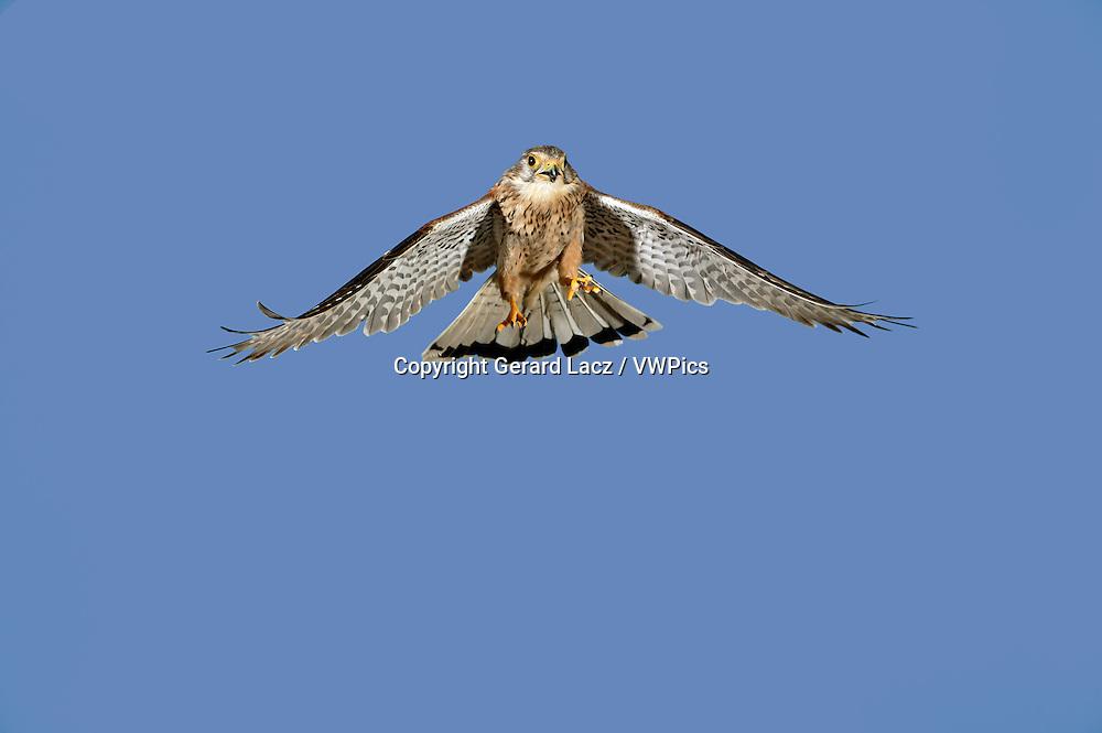 Common Kestrel, falco tinnunculus, Adult in Flight against Blue Sky