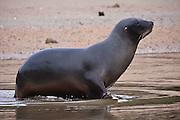 Hooker's Sea Lion, Stewart Island