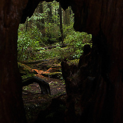 Window onto Old Growth Forest near Big Cedar Tree, Olympic National Park, Washington, US