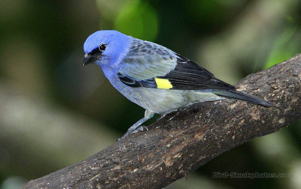 Yellow-winged Tanager, Thraupis abbas, Los Tarrales, Guatemala