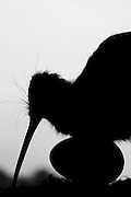 Guess which bird I am?  New Zealanders, you better know this one!  A silhouette of a kiwi and egg.