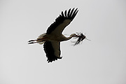 Stork flying back to nest with building material for nest, Avila, Spain.
