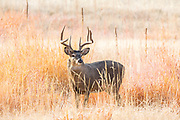Mature whitetail buck in tall grass prairie habitat