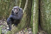 Chimpanzee<br /> Pan troglodytes<br /> Male sitting on buttress of tree<br /> Tropical forest, Western Uganda