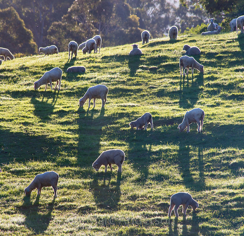 Sheared sheep grazing on a hillside in Tasmania